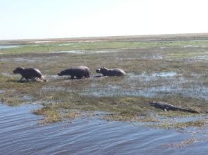Croc vs. Hippos